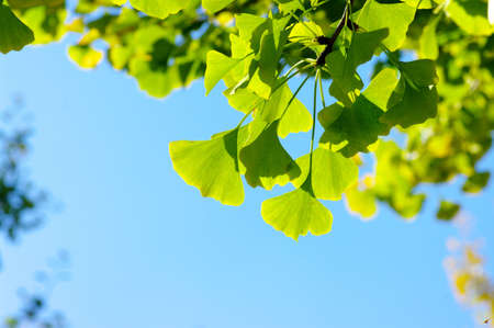 Ginkgo biloba leaf on the blue sky.  photo