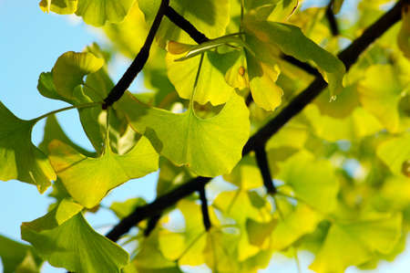 Yellow and green Ginkgo biloba leafs photo