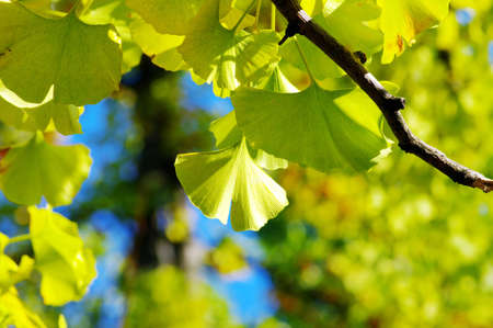 Yellow Ginkgo biloba leaf on the natural background photo
