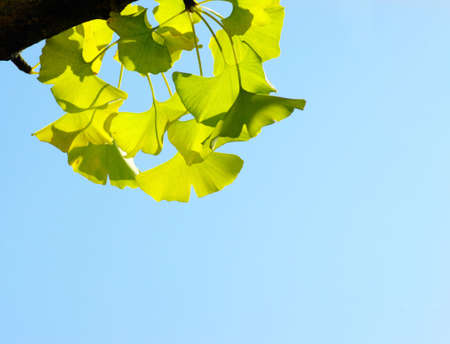 Ginkgo biloba leaf. Green leaf on the blue background.  photo