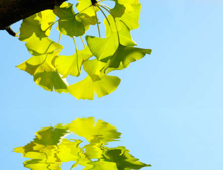 Ginkgo biloba leaf. Green leaf on the blue background with water reflection. photo