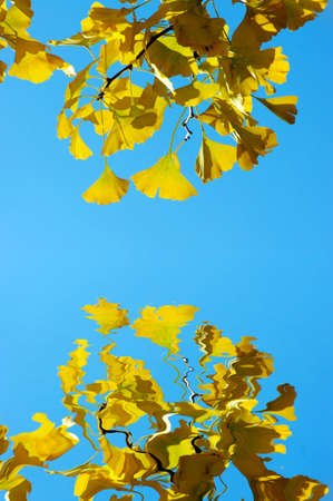 Yellow Ginkgo biloba leaf on the blue background. Ginkgo branch with water reflection. photo