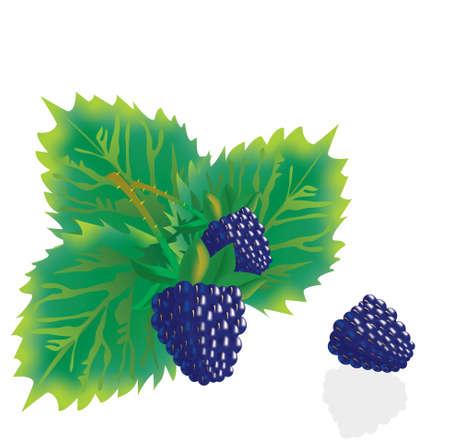 moras: BlackBerry con hoja verde sobre fondo blanco