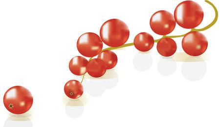 レッドカラント: スグリの影で白い背景に赤スグリ