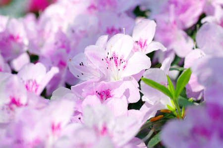Pink Blossom. Close-Up of Azalea Flower. photo