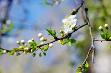 cherry flower over natural background with blue sky Stock Photo - 6981309