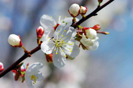 Tree branch with apricot flowers over natural background photo