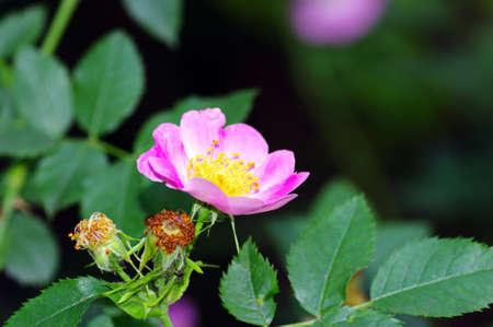 flores de color rosado de una rosa de perro sobre fondo natural  Foto de archivo - 7199664