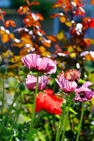 Head of pink poppies over natural background photo