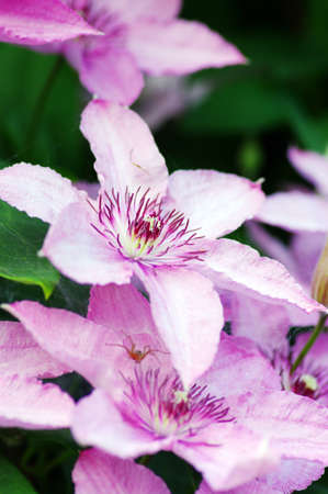 flower of Clematis over natural background photo