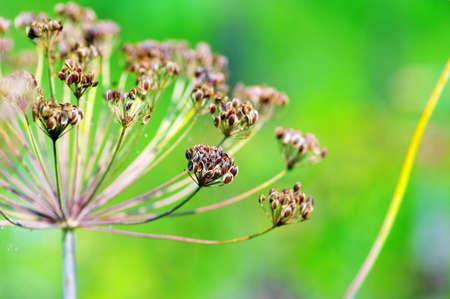 intense flavor: fennel seeds shallow focus in a garden