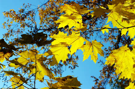 Maple foliage against sky, autumn  Stock Photo - 8132781