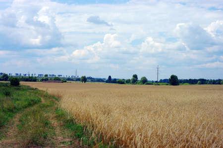 Golden wheat on a grain field Stock Photo - 8577841