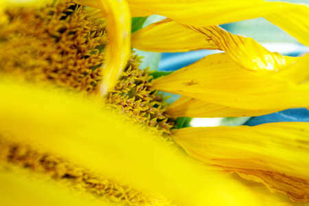 Sunflower Close Up Abstract sunflower picture. Stock Photo - 8751511
