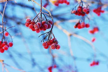 european rowan: A tree blooming with Rowan berries in the fall, shallow focus