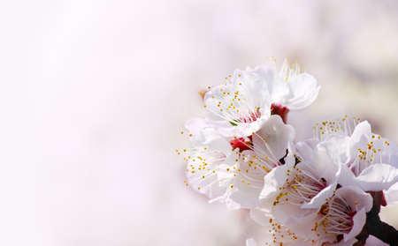 ピンク色の背景上の春のアンズの花