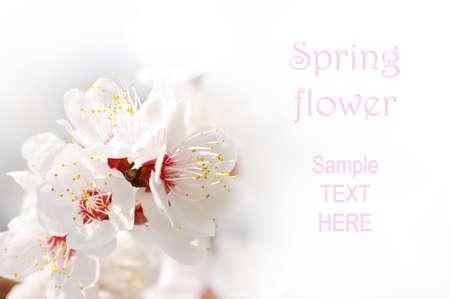 アプリコット ホワイト バック グラウンド上の春の花