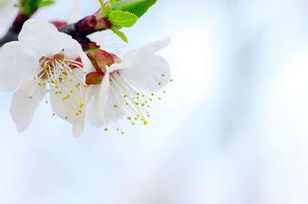 Cherry flowers background  photo