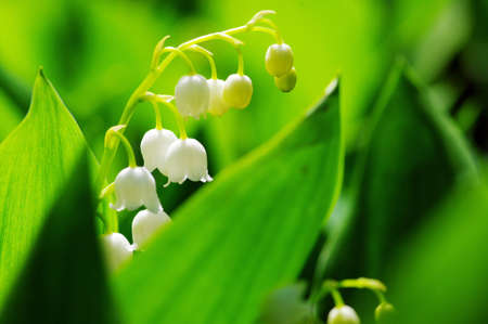 Close up of Lily of the valley. DOF photo