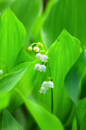 Lily-of-the-valley over natural background. Green forest with flower of lily-of-the-valley. photo
