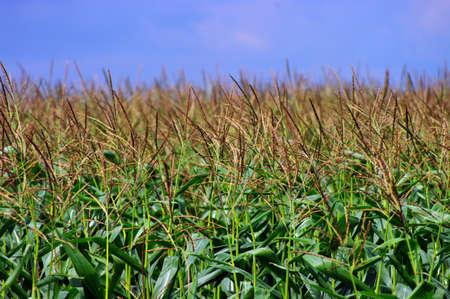 mais: corn field over cloudy blue sky