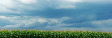 嵐上空のトウモロコシ畑 写真素材