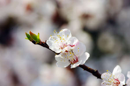 Spring apricot flower over pink background  photo