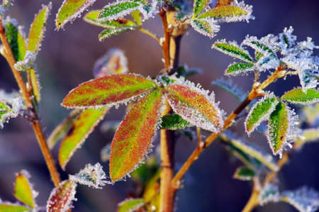 Frost leaves, frozen leaves at the morning. photo