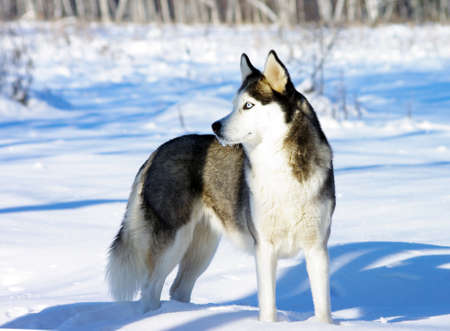 gray wolf black and white: Chukchi husky breed dog on winter background