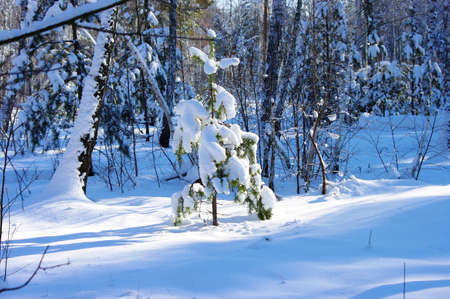 small fir tree covered with snow  photo