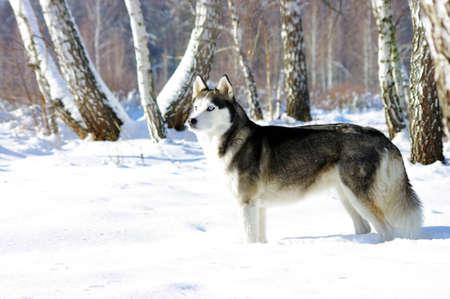 Chukchi husky breed dog on winter background  photo