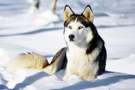Chukchi husky breed dog on winter background Stock Photo - 14555275