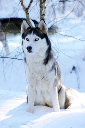 gray wolf black and white: Siberian husky dog (sled dog) with blue eyes in the snow.