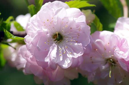 fukushima: Sakura flowers blooming blossom Stock Photo