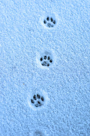 Hare trace on a fresh snow photo