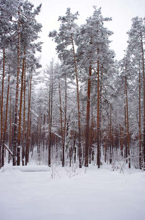 winter snow storm in a forest  photo
