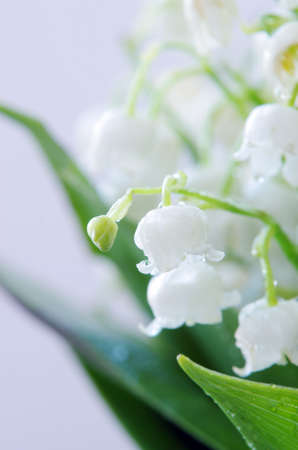 Close up of Lily of the valley  DOF photo