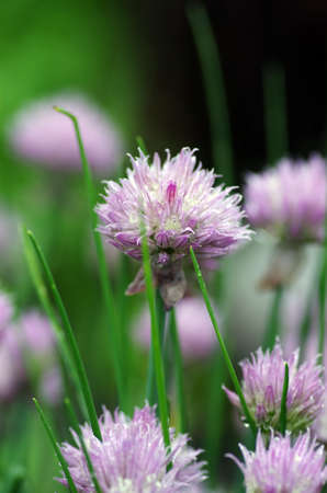 herbaceous border: Close up of the flowers of some allium with butterfly