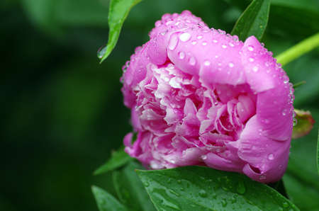 Peony after a rain  photo