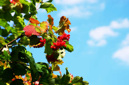 guelder rose berry: Red Viburnum berries in the tree