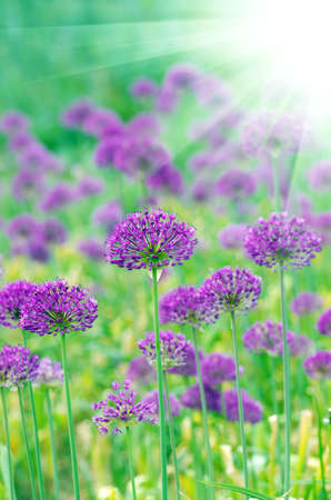 Close up of the flowers of some allium with butterfly