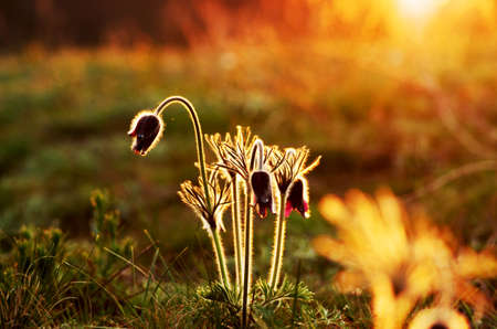 Pasque Wild Flower Group in setting sun  photo