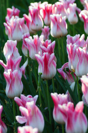 Spring season with tulips  photo