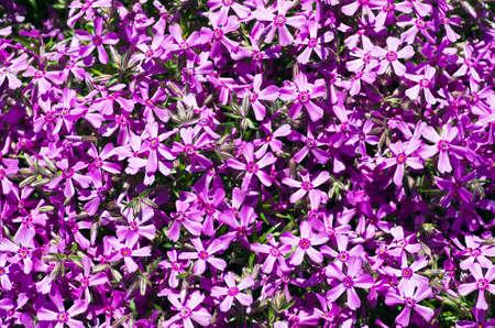 Beautiful natural of small purple flowers Stock Photo