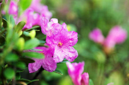 carpathians: rhododendron in the Carpathians Stock Photo