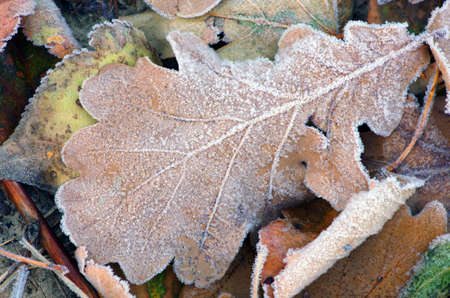 autumn leafs: frozen autumn leafs- abstract natural background