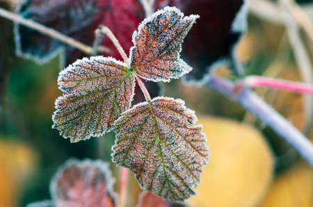 raspberry: Red raspberry leaf covered with frost