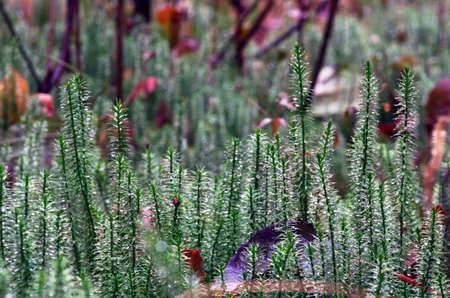 stiff: Stiff clubmoss (Lycopodium annotinum) in summer Stock Photo