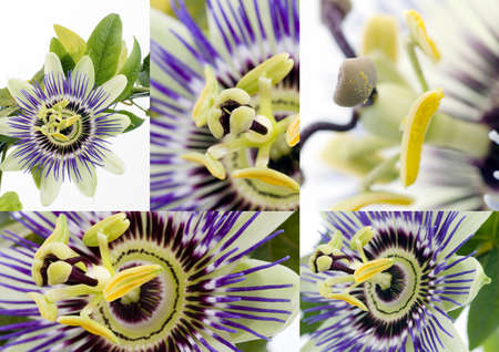 passionflower: Purple Passionflower collage over white background
