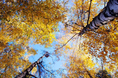 yellow alder: Autumn trees in a forest and clear blue sky with sun
